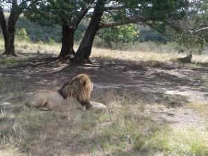 20141012_lion Plett_resized