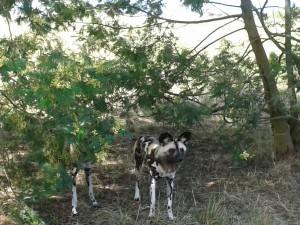 20141012_wild dog_resized