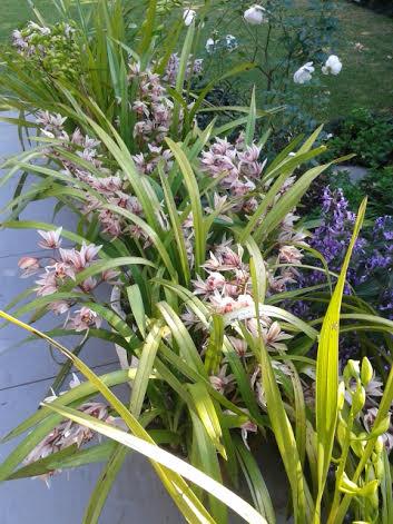 orchids June 2015