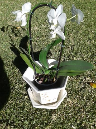 Jute's orchid