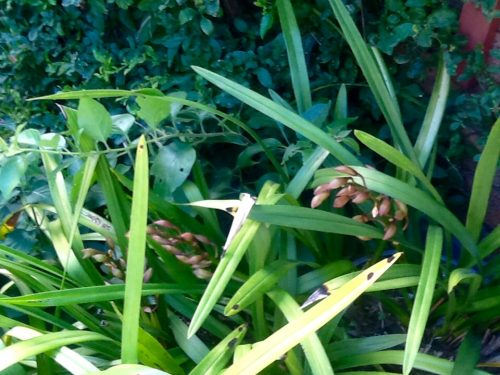 Aprilorchid buds