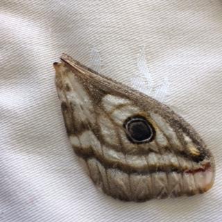 butterfly-wing-plett